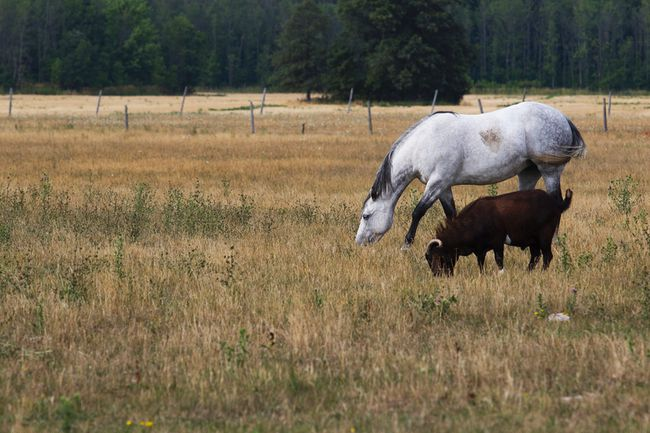 <p>A horse and goats graze in a golden, dry field in Grimsby, Ont. on Tuesday, August 9, 2016. </p><p>