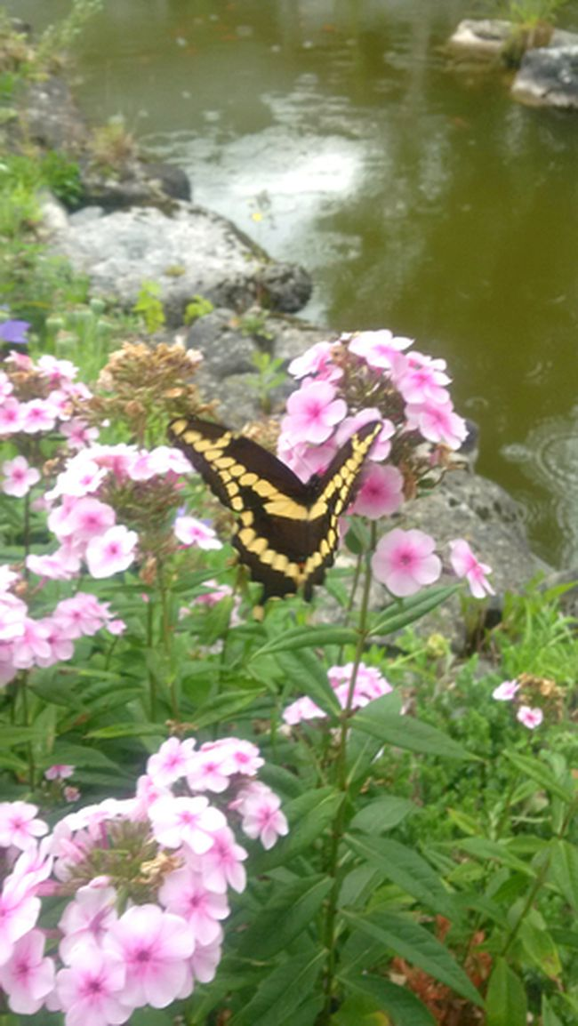 What appears to be a Giant Swallowtail butterfly feeds on the Summer Phlox found on gardening expert John DeGroot's property. (John DeGroot photo)