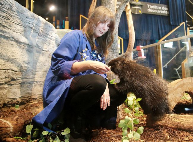 Science North staff scientist Meghan Mitchell with Maple, a young female porcupine that was announced as the newest animal ambassador at the science centre in Sudbury, Ont. on Monday August 21, 2017. Gino Donato/Sudbury Star/Postmedia Network