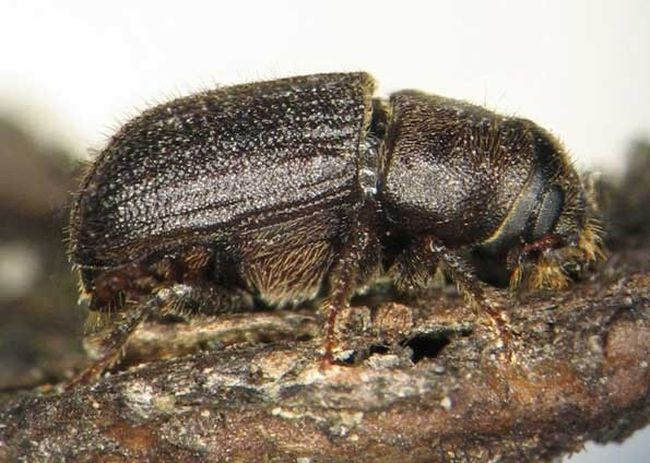 The mountain pine beetles feed on trees, making them more susceptible to wildfires (File photo | Postmedia Network).