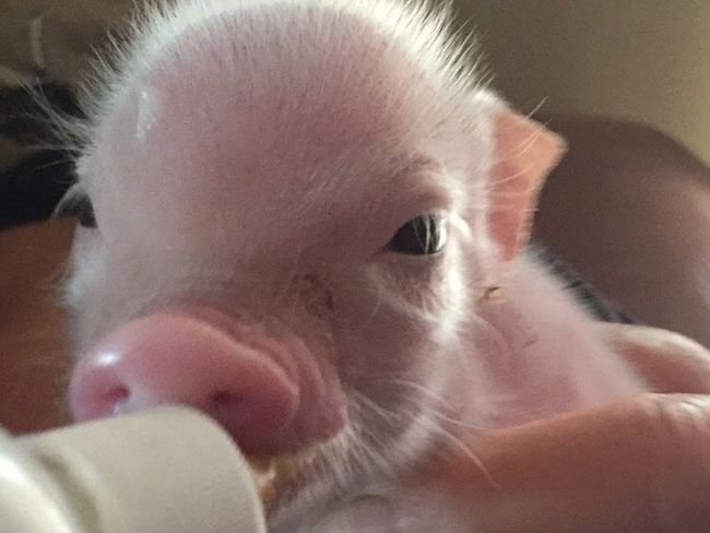Happy Herd, an animal sanctuary in Aldergrove, agreed to foster two abused pigs and wound up with a litter of piglets. They need monetary help to care for them - the mom needed $1,500 surgery and the runt of the litter - pictured by himself and with his mom is named Garth - has been very ill. (Submitted Photo)