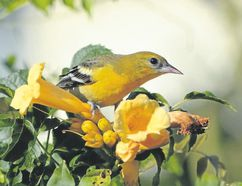 This London Baltimore oriole will be flying south to Florida, the Caribbean, Central America, Colombia, or Venezuela within the next two weeks. Orchard orioles are already gone. (MICH MacDOUGALL, Special to Postmedia News)