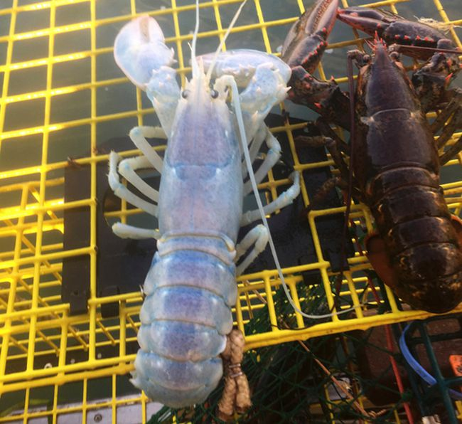 An Aug. 24, 2017 photo provided by Alex Todd shows lobster with a a translucent shell, caught by Maine lobsterman Todd off the coast of Maine, next to a regular lobster. (AP Photo/Alex Todd)