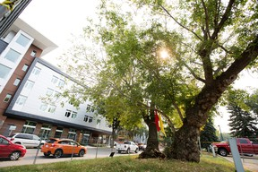 The Garneau Tree at the University of Alberta, near 111 street and 90 Avenue, in Edmonton Friday Sept. 8, 2017. Photo by David Bloom