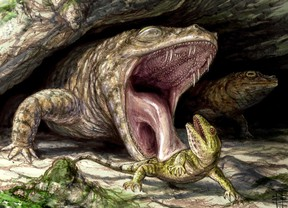 The Early Permian dissorophid Cacops displays its fearsome dentition as it preys on the hapless reptile Captorhinus in this handout illustration. Canadian researchers say they've found evidence that the ancient ancestors of modern-day frogs were once keen predators with thousands of teeth to help devour their prey. The team from the University of Toronto examined fossils of animals believed to have evolved into the amphibians people are familiar with today. (THE CANADIAN PRESS/HO - dontmesswithdinosaurs.com, Brian Engh)