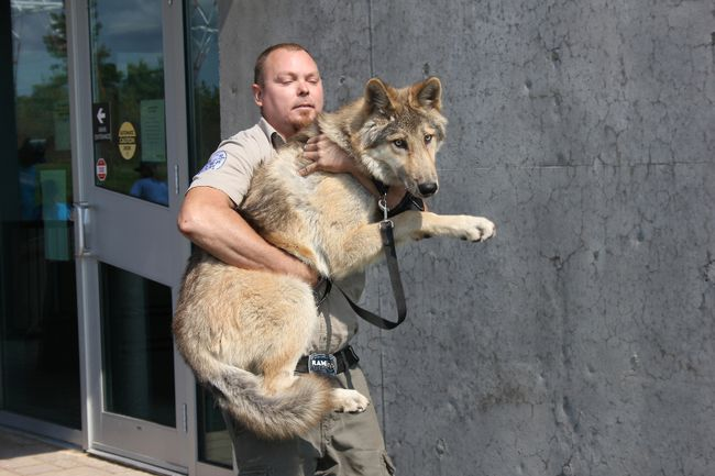 Brady Bodden from Speaking of Wildlife, with Maverick, a four-and-a-half-year-old wolf at the Animal Mania event at the OPG Visitors Centre. The annual event was sponsored by the St. Lawrence River Institute. Lois Ann Baker/Cornwall Standard-Freeholder
