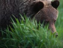 grizzly bear No. 141