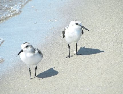 Sanderlings were among the interesting shorebirds seen at the tip of Long Point last weekend. The parade of fall migrants flying south through Norfolk County will continue into November. (PAUL NICHOLSON/SPECIAL TO POSTMEDIA NEWS)