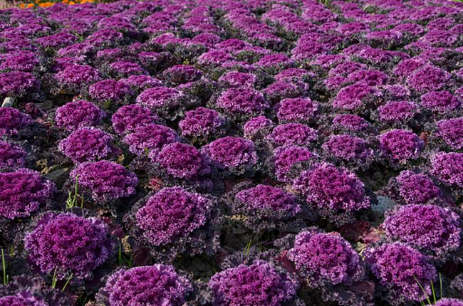 Flowering cabbage (Getty Images)