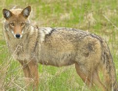 """Lambton Shores officials urge residents from Forest to Thedford to be vigilant after a string of """"very aggressive"""" coyote attacks on livestock in less than a year. (Postmedia file)"""