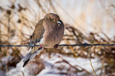 A mourning dove huddles against the chill west of Nanton on Tuesday, October 3, 2017. Mike Drew/Postmedia