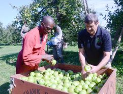 Delroy Martin, left, and Brian Gilroy cull imperfect apples from a bin at Nighthawk Orchards in Meaford on Tuesday. (Rob Gowan The Sun Times)