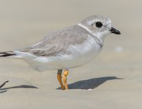 The piping plover from Sauble Beach that was photographed by Laura in Florida. (PHOTO COURTESY OF THE AFTERNOON BIRDER)