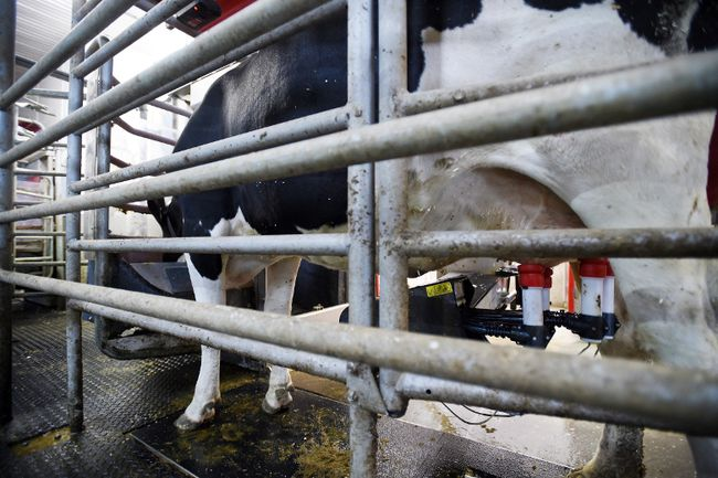 A dairy cow is milked at a farm in Eastern Ontario on Wednesday, April 19, 2017. THE CANADIAN PRESS/Sean Kilpatrick