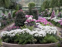The north house at the Niagara Parks Floral Showhouse is study of cool white, pink and purple for the annual chrysanthemum show, on until Nov. 19. (Theresa Forte/Special to Postmedia News)