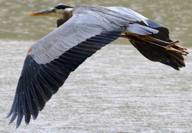 A great blue heron takes flight over the Avon River on a rainy day in Stratford, Ont., on Friday, June 28, 2013. Scott Wishart/Stratford Beacon Herald/Postmedia Network