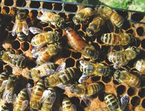 Honey bees – when you spot the one that looks different than the rest, that's the queen. (JOHN GAVLOSKI)