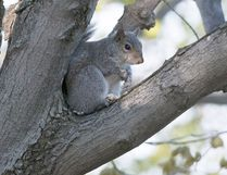 Quebec may soon allow squirrel hunting, which is already legal in Ontario.David J. Hawke / Postmedia