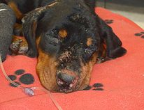 The OSPCA is looking for the public's help after this young Rottweiler-type dog was found Nov. 10 near Orillia with burns on much of its body. (SUBMITTED)