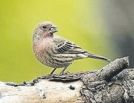 This is a great time of year for observing finches. The house finch can be seen here through the breeding season but it stays here through the winter months as well. (NICHOLAS BELL, Special to Postmedia News)