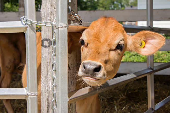 <p>Alvin the Jersey cow at Homesteaders Days at Odessa Fairgrounds on Sunday August 16th, 2015. </p><p>