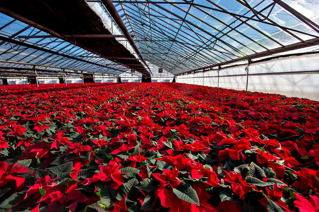 Poinsettias growing in an Ontario greenhouse.