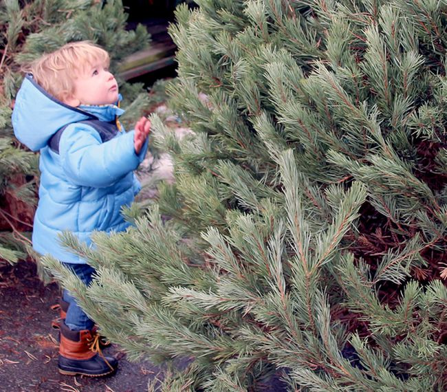 Lockett Arnett, 21 months, checks out a tree at Burrow's Country Store and Garden Centre. PJ Wilson/The Nugget
