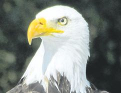 During last year's Christmas Bird Count there was a record number of bald eagles seen in the London count circle. This species' rebound since the DDT debacle in the mid-20th century underlines the value of bird science and legislative action. (PAUL NICHOLSON/SPECIAL TO POSTMEDIA NEWS)