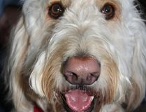 "Gavin, a three-year-old Goldendoodle, is pictured in 2012 when he was visiting Lambton College's student residence to help students relieve stress during exam time. The Sarnia-Lambton St. John Ambulance therapy dog program is planning to offer standardized training for ""newbie"" volunteers thanks to a recent donation from the Lambton Seniors Association. (Observer file photo)"