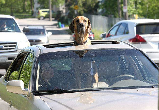Zeus, a two-year-old great dane, sticks his head out of the sunroof of a Honda belonging to his owners Kassandra Williamson and Johnny Morrison as their car is parked on Rideau Street on Thursday June 1 2017. Ian MacAlpine /The Whig-Standard/Postmedia Network