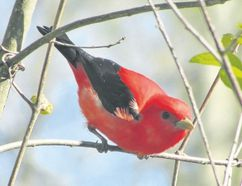 Sometimes, a birder's most memorable sightings over a year are rarities, or nemesis birds, they hadn't seen in years. But sometimes the sighting of a more common species, such as a scarlet tanager, can be just as special. (PAUL NICHOLSON/SPECIAL TO POSTMEDIA NEWS)