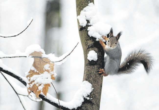 When food is scarce squirrels are known to eat tree bark and animal bones. (NATALIA KOLESNIKOVA/AFP/Getty Images)