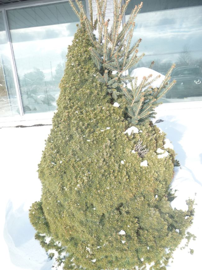 A 'sport' growing off a Dwarf Alberta Spruce. Gardening expert John DeGroot explains that in botany, a sport is an anomaly or a mutation found growing on a plant. (John DeGroot photo)
