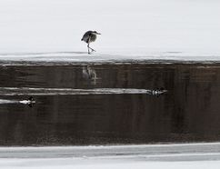A great blue heron walks along ice at the edge of an area of open water on the Grand River, near Wilkes Dam. A flood watch remains in effect for the watershed. (Brian Thompson/The Expositor)