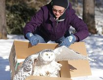 Hannah Tennet, a senior intern at the Wild at Heart Wildlife Refuge Centre, releases a snowy owl near Hanmer on Tuesday. The owl was rehabilitated after being found suffering from cold and lack of food last month. (Gino Donato/Sudbury Star)