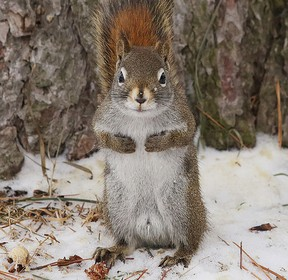 A red squirrel takes a little break from scavenging at Bell Park. (Gino Donato/Sudbury Star)