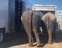 A pair of circus elephants stand on the side of the road in Oklahoma after trailer trouble. Oklahoma Highway Patrol / Facebook