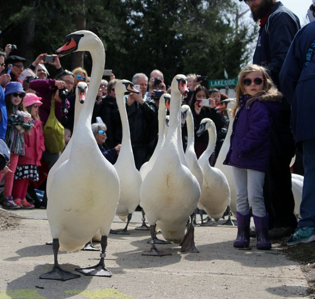 Stratford's swans march to the Avon River during the 2017 parade. This year's swan parade will be on April 8. Terry Bridge/Stratford Beacon Herald/Postmedia Network