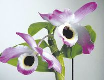 Dendrobium Nobile orchids can be viewed at Royal Botanical Gardens. (Special to Postmedia News)