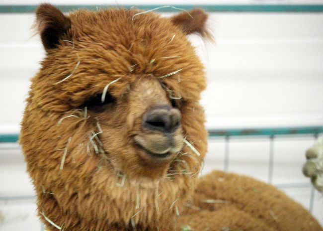 Enchanted Groves Alpacas, a company that specializes in hand-knitted alpaca hair articles of clothing, brought along a few of its alpacas for the event. (Brian Oliver/The Graphic)
