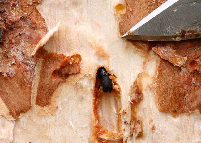 The Alberta government recently announced that it would give $29,000 to the Town of Whitecourt and $26,000 to Woodlands County for mountain pine beetle mitigation (Submitted | Alberta Environment and Parks).