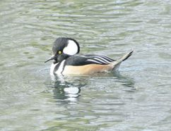 The male hooded merganser has beautiful plumage. Like our two other merganser species, the hooded merganser has a narrow, hooked bill with serrated edges to help it catch fish. (PAUL NICHOLSON/SPECIAL TO POSTMEDIA NEWS)