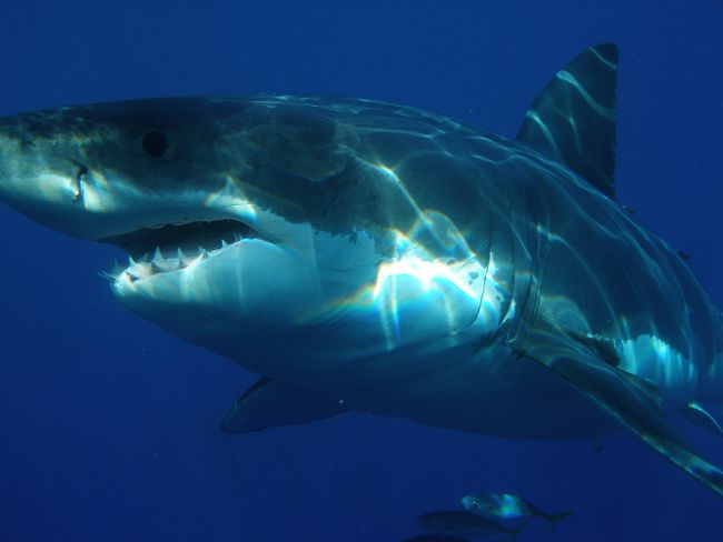 PHOTO SUPPLIED A Great white shark as can be seen in the documentary Great White Shark, now playing at the Philip J. Currie Dinosaur Museum.