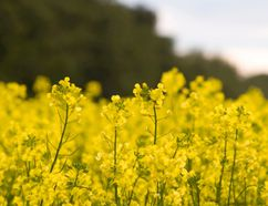 Canola crop (Getty Images)