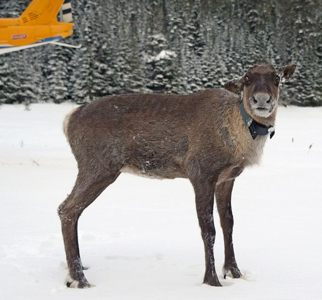 A caribou is shown after being relocated to the Slate Islands in Northern Ontario.