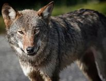 A wildlife advocate with Earthroots who has studied the species believes the animal is likely an Algonquin wolf. (James Hodgins/For Postmedia)