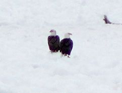 Bald Eagles both young and mature were seen along the Municipality of Kincardine's Lake Huron shoreline on March 6, 2018. The large groups were seen fishing on the remaining lake ice, and perched at areas along Bruce Power's protected shoreline. (Troy Patterson/Kincardine News and Lucknow Sentinel)