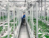Workers are seen inside Tiverton's 7 Acres cannabis greenhouse facility. (Shared photo)