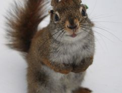 A male red squirrel who committed infanticide while a researcher watched is shown in a handout photo. Scientists from the University of Alberta have discovered male red squirrels will kill the offspring of its rival males in years when there's a lot of food. THE CANADIAN PRESS/HO-University of Alberta-Jessica Haines