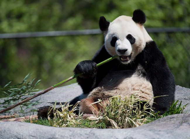 Giant panda Da Mao eats bamboo at the Toronto Zoo on Thursday, May 16, 2013. THE CANADIAN PRESS/Nathan Denette